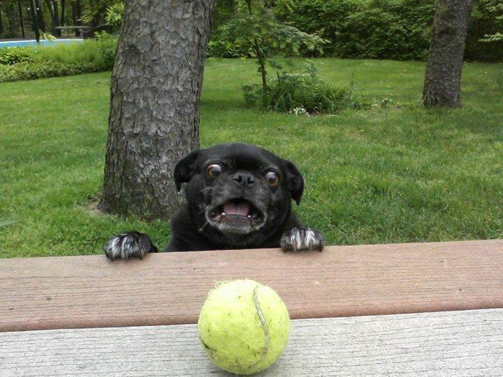 Derpdog Vs Tennis Ball.. .. ermergerd thers ers er reperst derp Dog vs tennisball egg super hero man