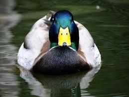 Ducks... Hope you don't have Anatadaephobia.... Were watching yo
