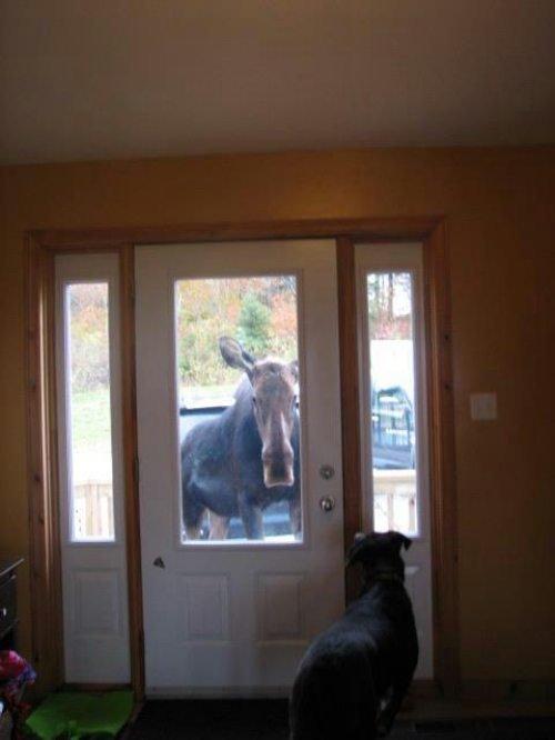 Hey, look Canada is at the door. . moose canada fuck shit up yolo