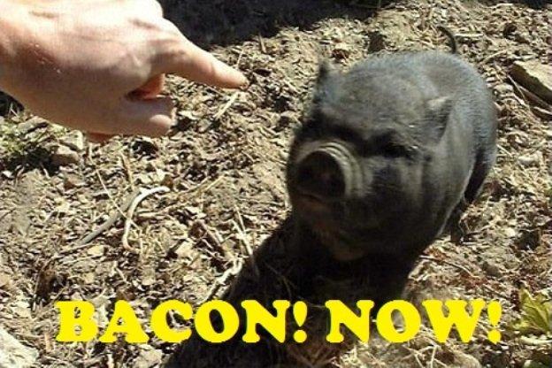 HEY PIG!. . HEY PIG!