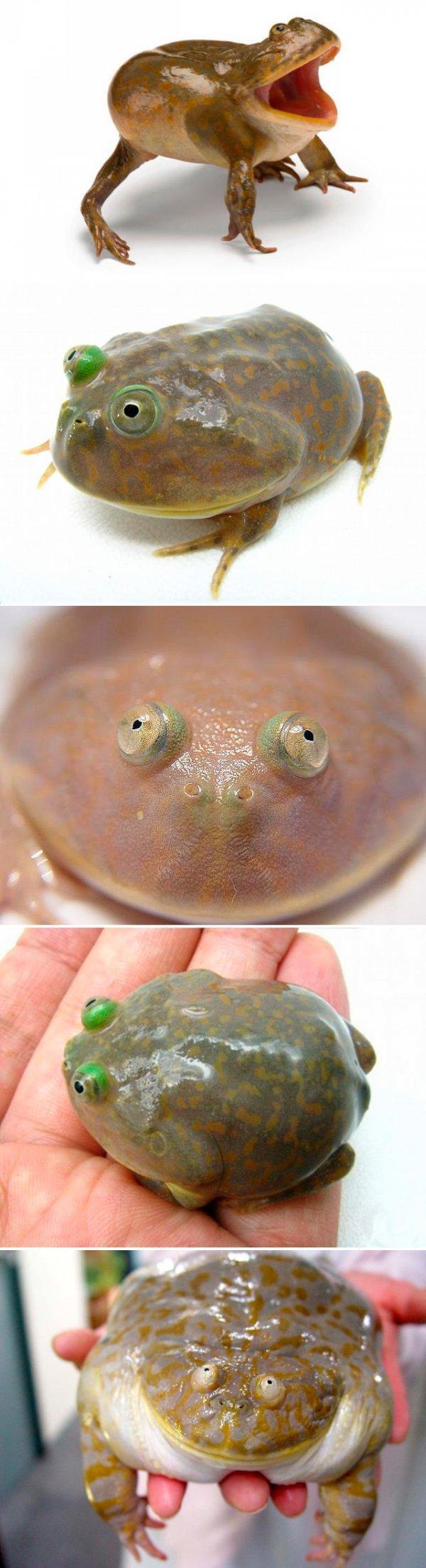lol frog. . lol frog