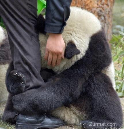 Panda feels. :'( Credits to Photographer. l it Panda feels