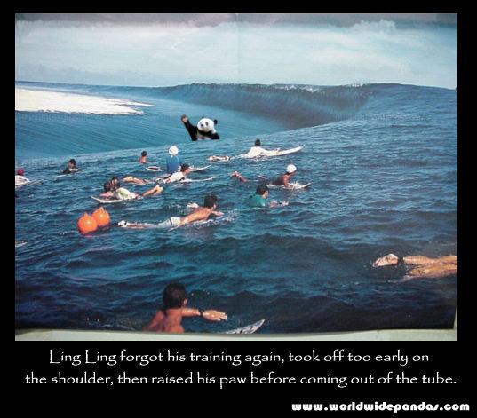 """panda surfing big wave Teahupoo. panda surfing big wave Teahupoo. meguca"""" """" urt. This is why pandas are endangered pandas Bears surfing funny"""