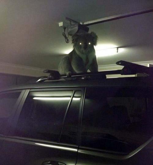 Paranormal Koalactivity. . Paranormal Koalactivity