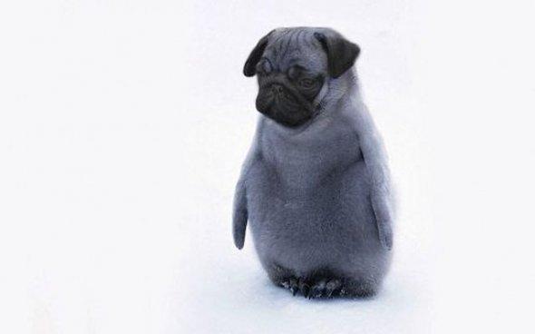 penguinchickpug. . penguinchickpug
