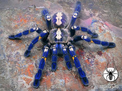 Poecilotheria metallica tarantula. Big fan of tarantula's, I think she looks awesome.. ...Now go find me Megadeth one Poecilotheria metallica tarantula Big fan of tarantula's I think she looks awesome Now go find me Megadeth one