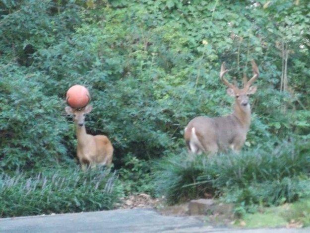 The rare basketball deer peers carefully. DEER LORD.. how i imagine the story behind this: hey stupid deer! get off the court me and jemal wana shoot hoops Throws ball at deer trying to scare it THOONK sheeeeeeeeet