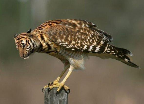 tigerhawk. . tigerhawk