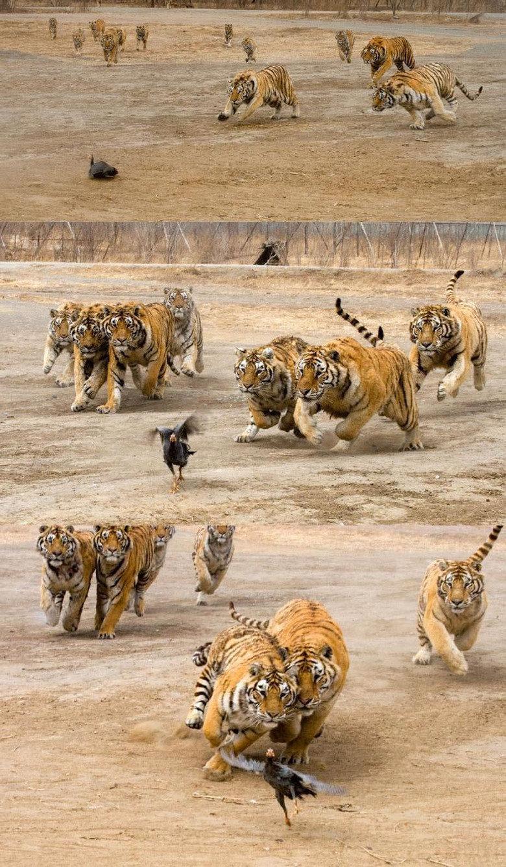 Tigers attack bird. Bird: ahh, what a nice day.<br /> Tigers: get that bird!<br /> Bird: OH !!!!.. DAMN NATURE! YOU SCARY! tiger Bird RUN