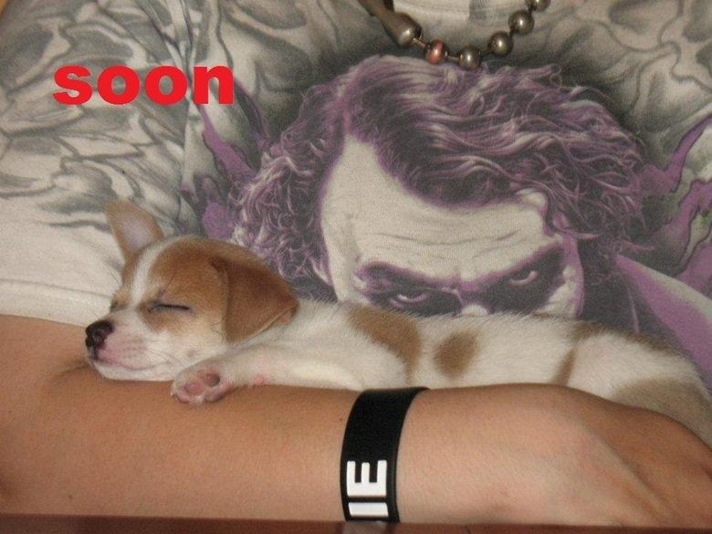 d'awww. my new puppy, an applehead chihuahua.. cute soon joker