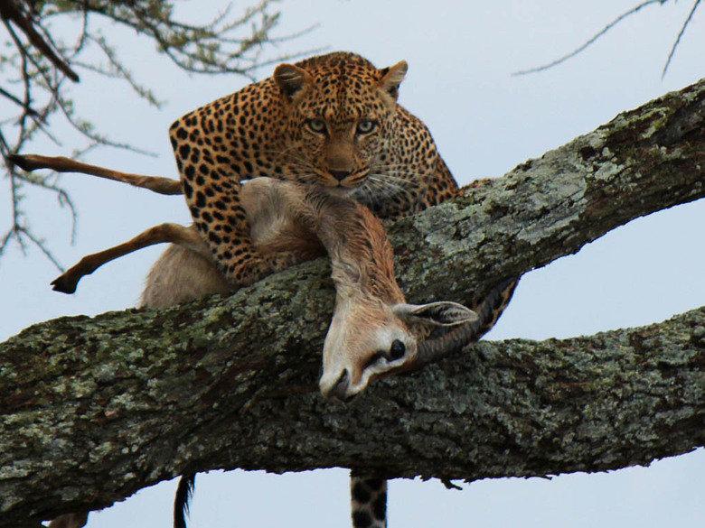 Description. When you see a sober guy with a drunk girl.. When you see a sober girl with a drunk guy Sober drunk guy Girl Cheetah