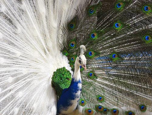 Half Albino Peacock. .. My mother was albino and my father was black. interesying half Albino peacock