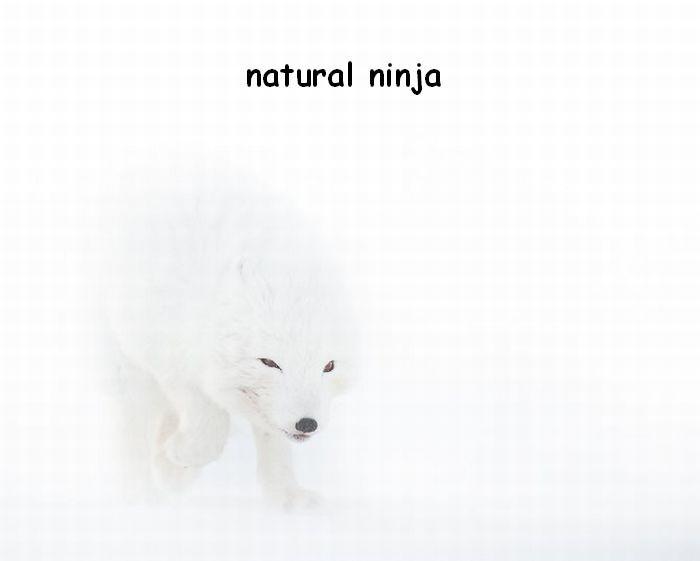 he's a natural. nuff said. natural ninja Ninja fox natural