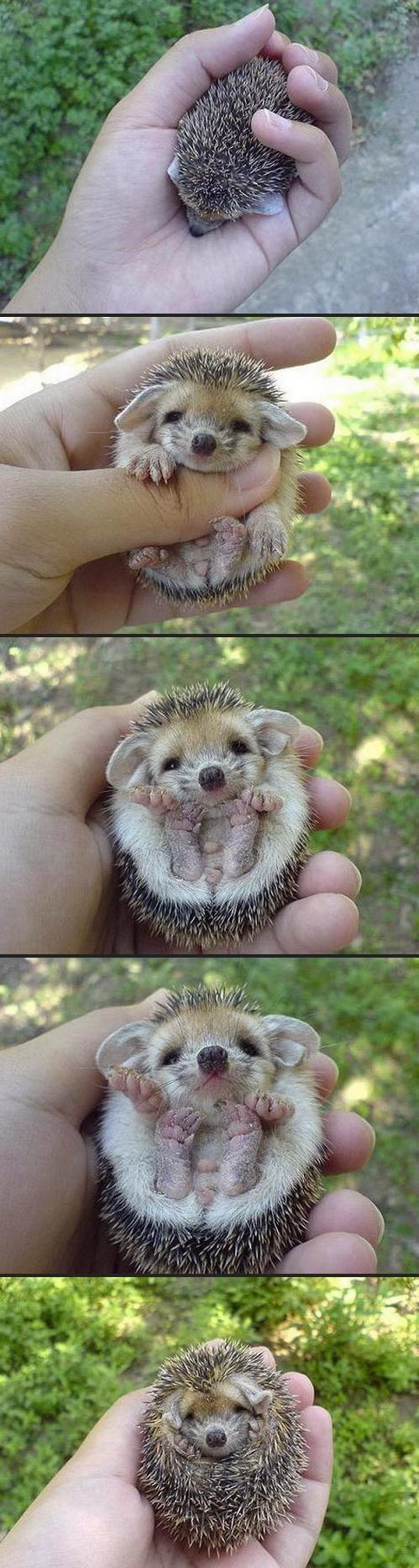 Hedgy the hog. Soooooooo adorable.. Funny how Sonic doesn't even look like a hedgehog.. O_o Hedgy the hog Soooooooo adorable Funny how Sonic doesn't even look like a hedgehog O_o