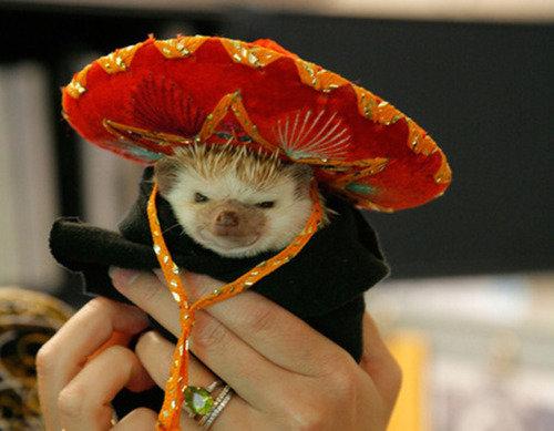 Hola!. Multilingual hedgies!. hedgie Costume Cute