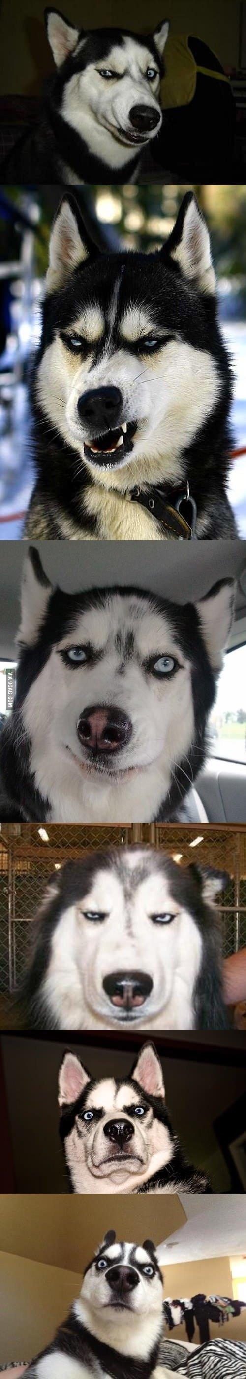 Husky's make the best faces. . Husky's make the best faces
