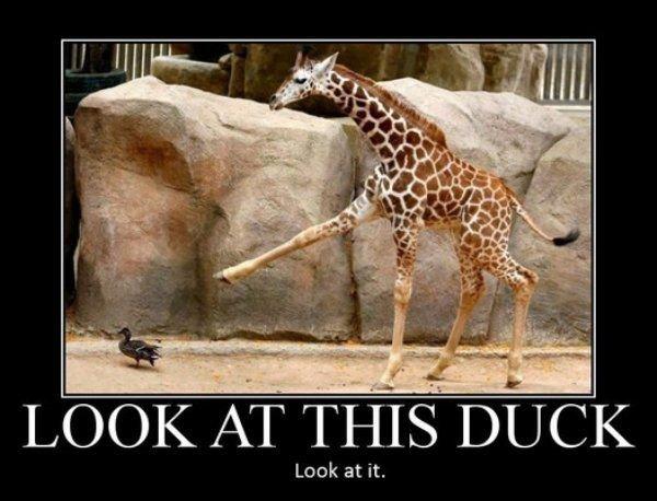 look at it. . Look at it.. MAJOR REPOST look at this Duck