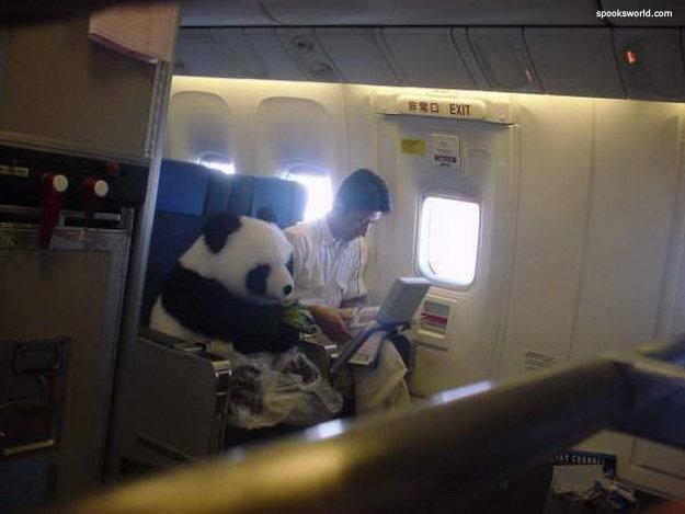 Panda flying. .. That better be first class Panda plane Airplane passenger