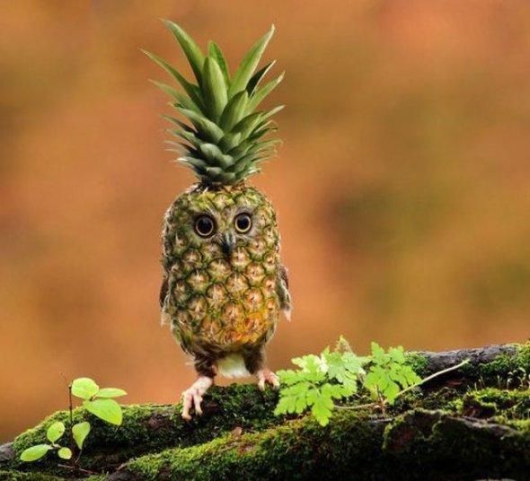 pineapple owl. . pineapple owl