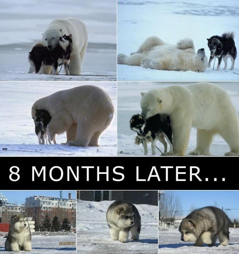 polar bear + wolves = dafaq. .. Anyone? Polar Bear Wolf baby Fat Cute Dog playing cheez burger voldermort