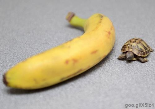 turtle. the race turtle won because bananas don't move.. goo.. That must be one big banana Turtle Banana