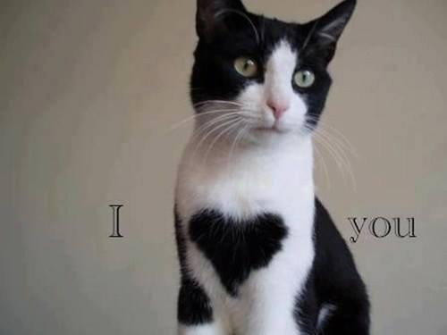 tuxedo cat. . tuxedo cat