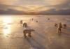 Polar Bears on Hudson Bay, Canada