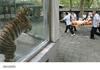 hurt tiger is happy tiger